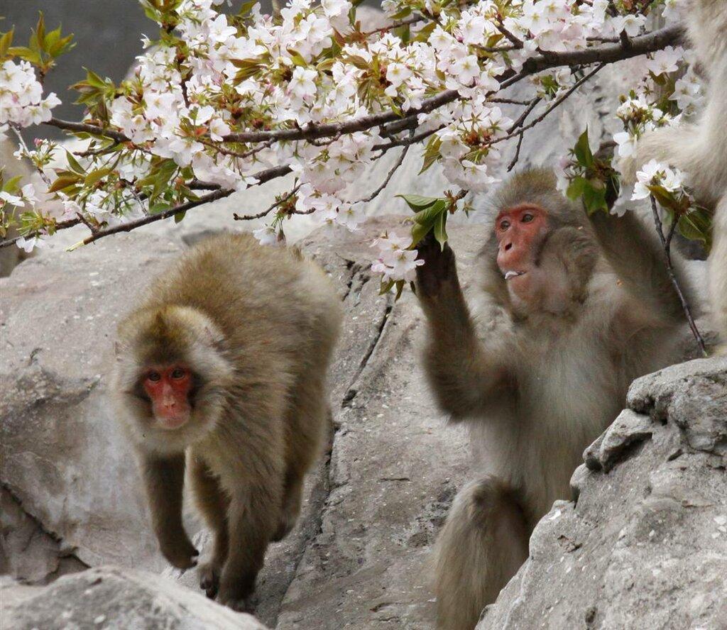 ss-100401-cherry-blossoms-09.ss_full.jpg