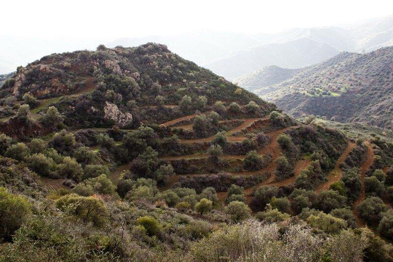 оливковая плантация на горе