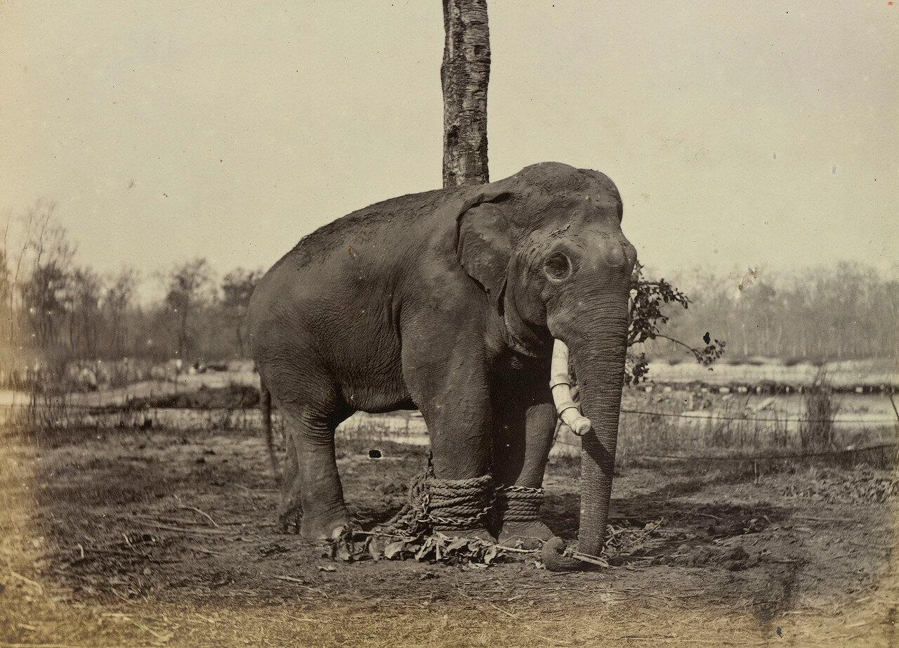108. Джанг Першад, самый большой боевой слон махараджи сэра Юнга Бахадура Рана (1816-77)