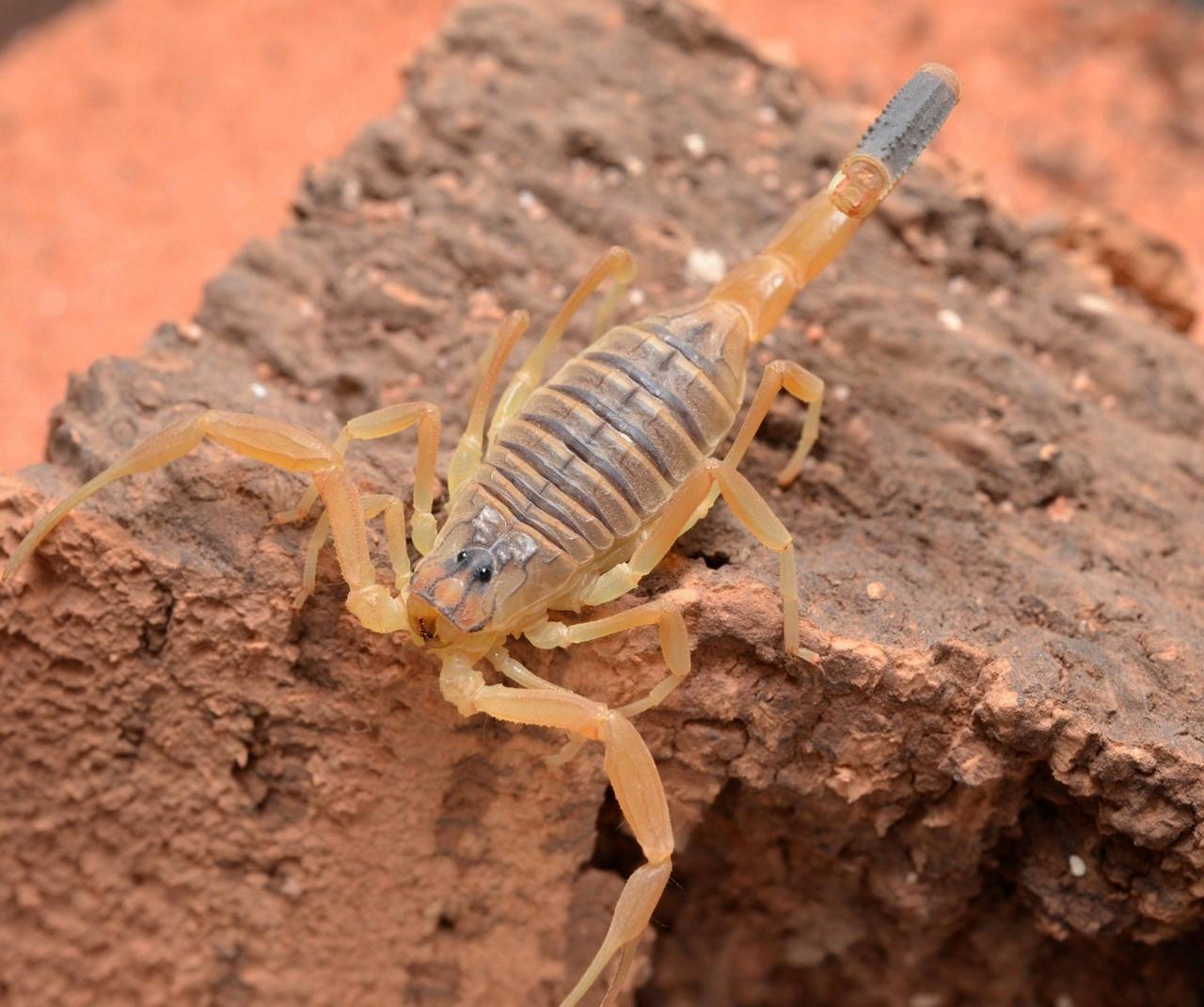 Самый ядовитый из скорпионов скорпион, скорпиона, ядовитый, Leiurus, скорпионы, может, другие, сверчками, больше, этого, quinquestriatus, который, Северной, живет, университета, пустынях, исследователи, временем, Вашингтона, камнями