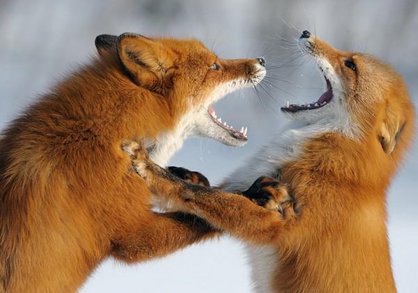 Фотографии животных отлучших фотографов анималистов России 0 145e61 c3a9be51 orig