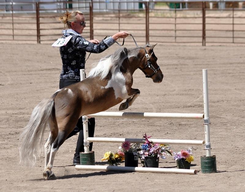 Порода американских миниатюрных лошадей