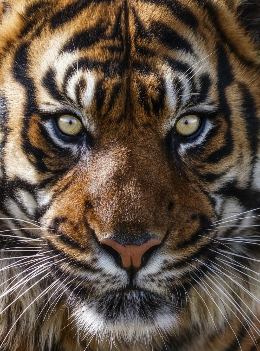 bigcatphotos UK Суматранский тигр.