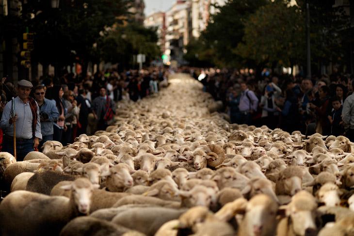 1. Это старинный праздник перегона отар Fiesta de la Trashumancia, насчитывающий около 700 лет. Прав
