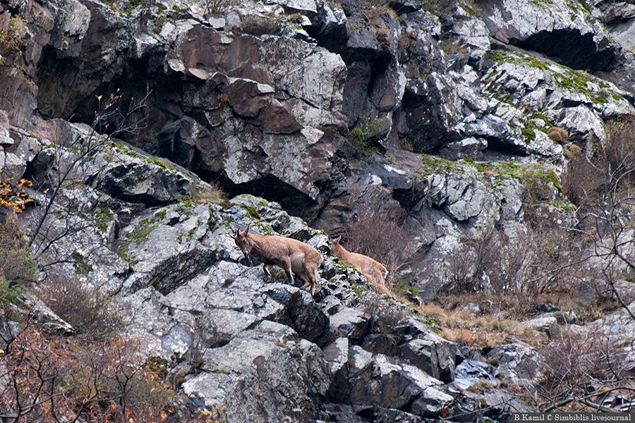 Феноменальные скалолазы - горные козлы