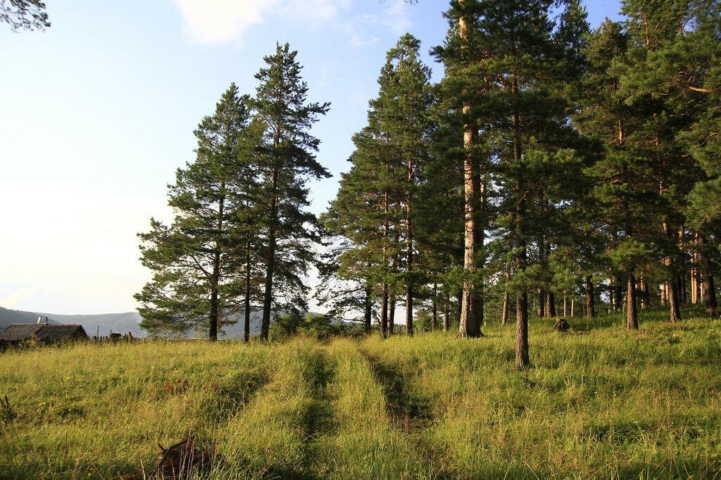 Сосновый лес в Кусе