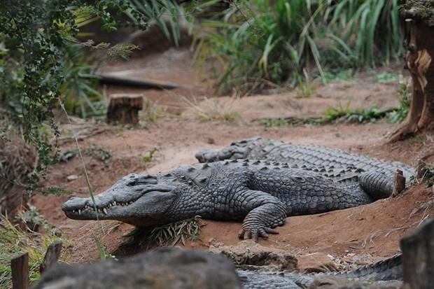 В Южной Африке сбежали 15 тысяч крокодилов