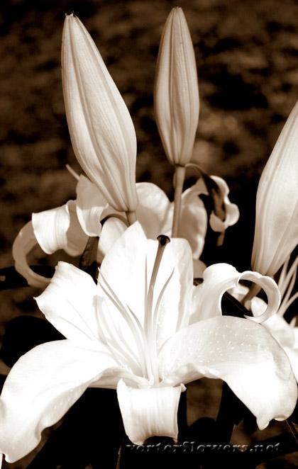 лилия с бутонами
