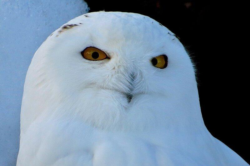 Муж Белой совы