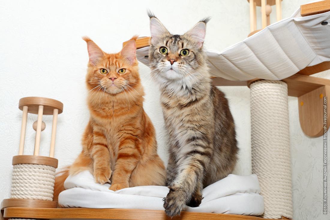 кот и кошка мейн-кун