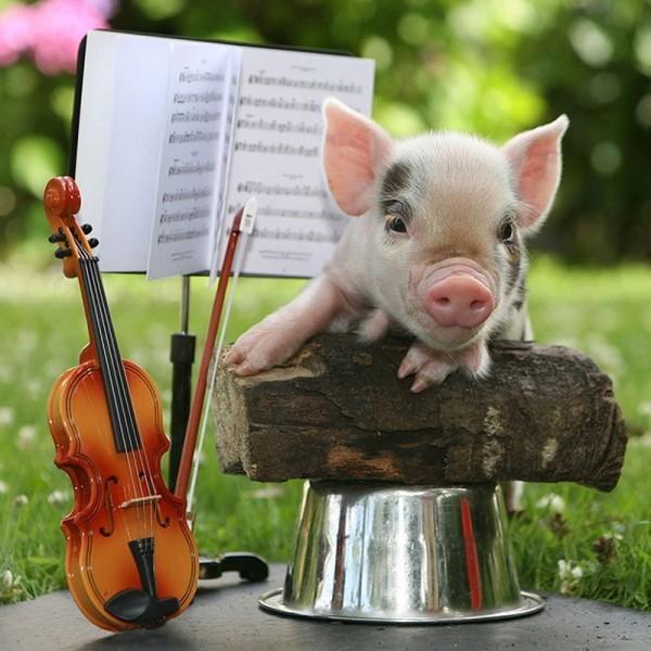 минипиги играют на скрипке