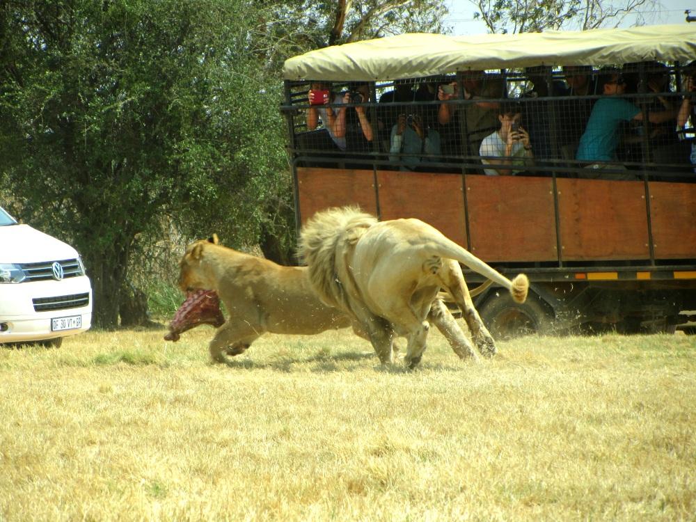 lions47.jpg