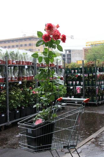 Розы Weeks (ЗКС)! Новые поступления в наших магазинах!