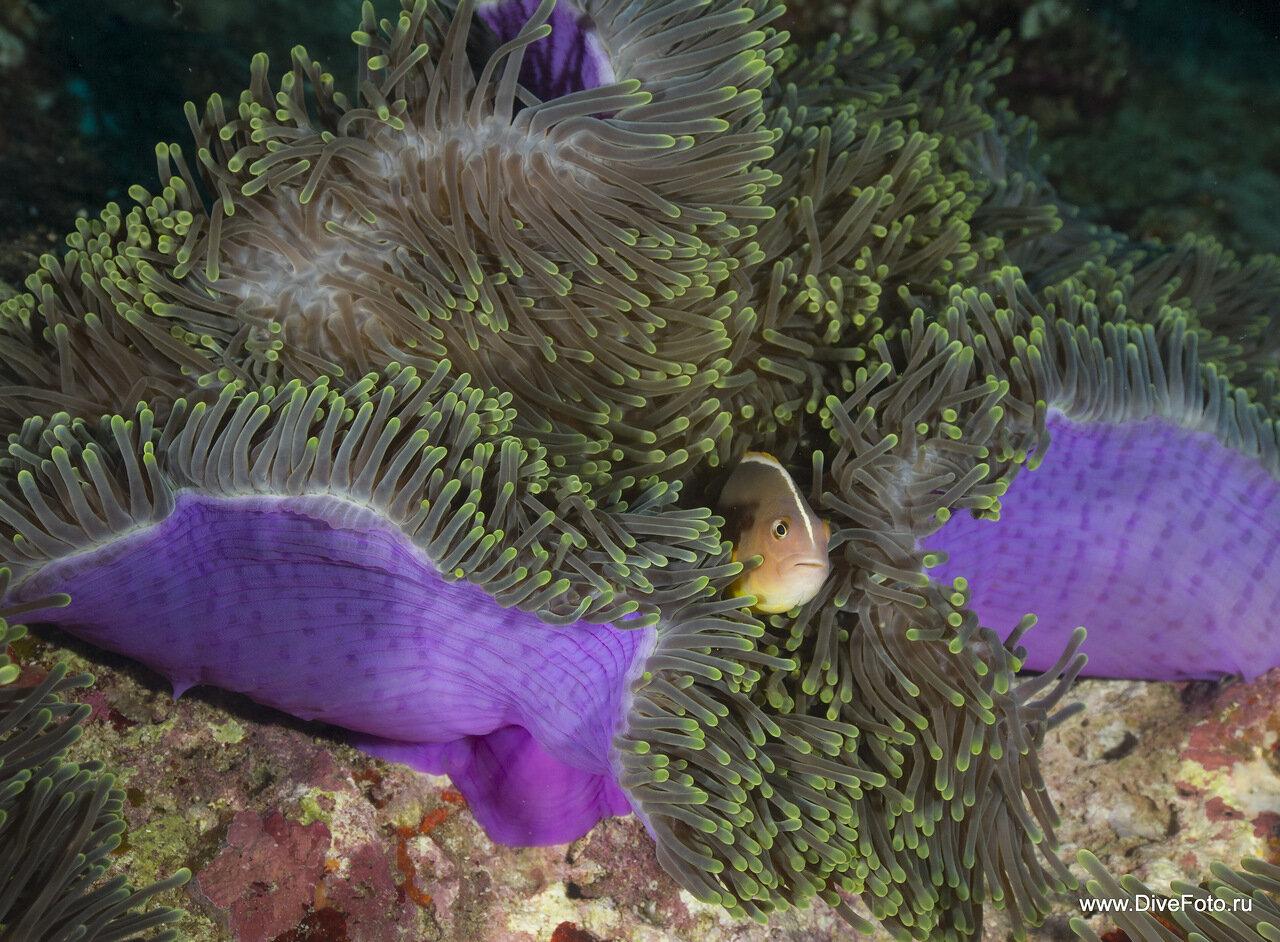 Пестроносый амфиприон Amphiprion akallopisos в синем анемоне фото