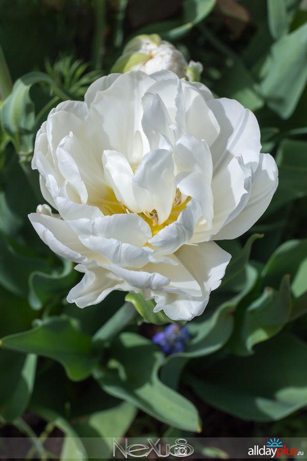 Я люблю все цветы, выпуск 166   Тюльпан «Ice Age».