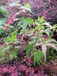 Клен блестящий Феникс    Acer conspicuum Phoenix (1).JPG