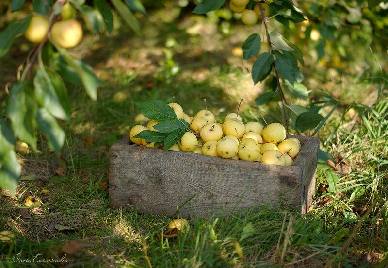 Маленькие яблоки