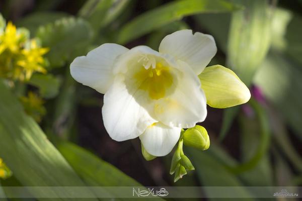 Я люблю все цветы, выпуск 129 | Фрезия - цветок аристократов и клематис - «цветок страсти».