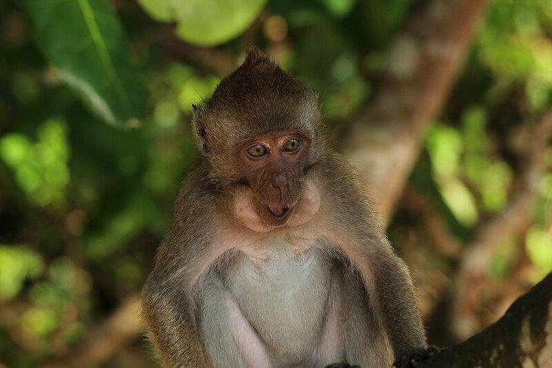 Длиннохвостый макак (яванский, макак-крабоед, Macaca fascicularis) набил защечные мешочку кусочками банана