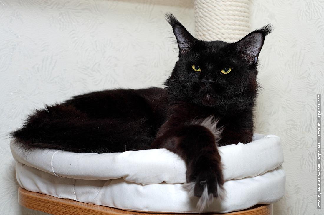 черный взрослый кот Мейн-кун