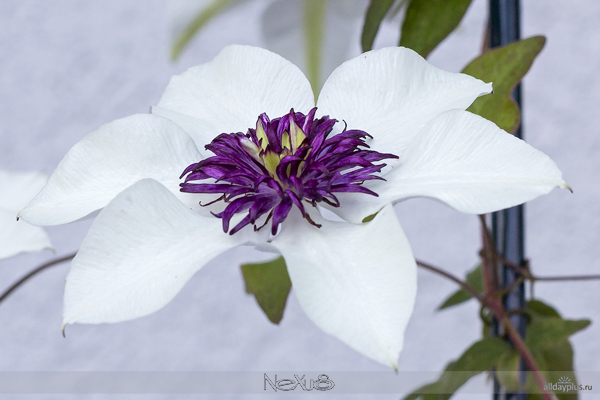 Я люблю все цветы, выпуск 129 | Фр5a8езия - цветок аристократов и клематис - «цветок страсти».
