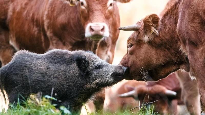 Дикий кабан поселился в стаде коров