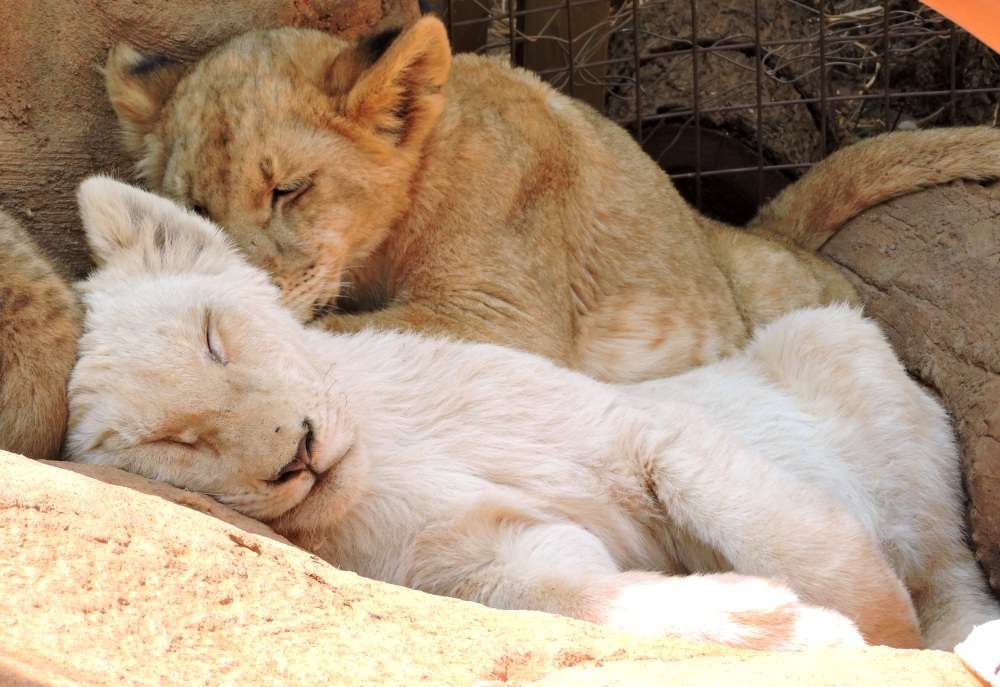 lions30.jpg