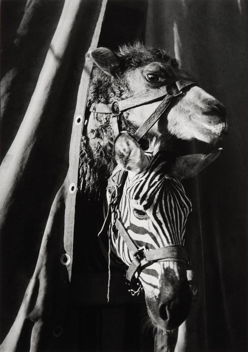 1937. Зебра и верблюд