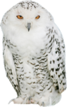 sd_woodland-winter-owl.png