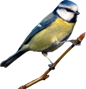 синицы