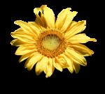 mzimm_fallintoautumn_sunflower_sh.png