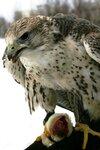 Мой верный товарищ, махая крылом, кровавую пищу клюет под окном...