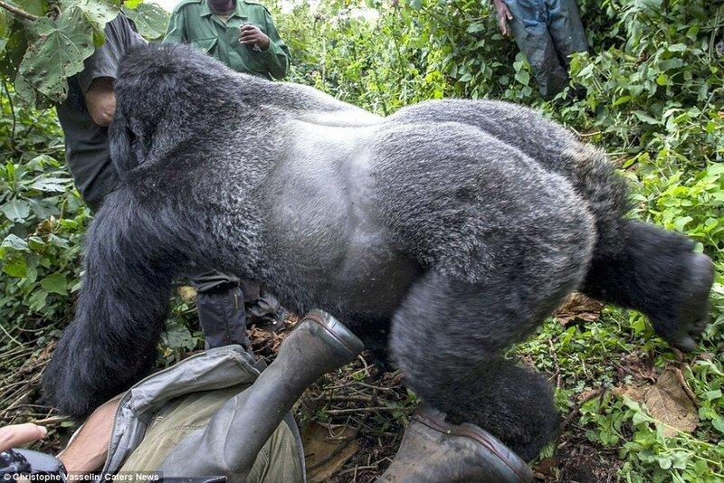 Секс человека с гориллой смотреть 5 фотография