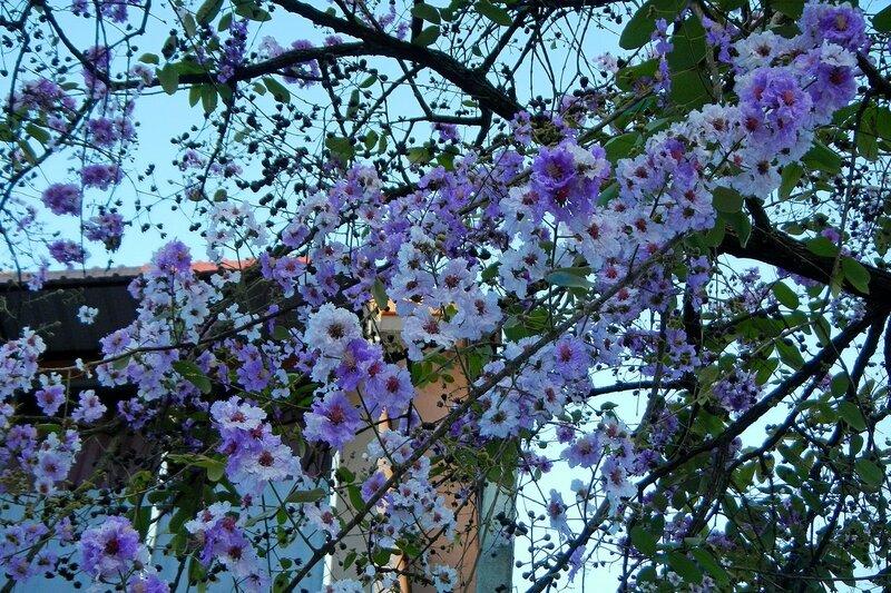 Цветущее дерево в Ао Нанге