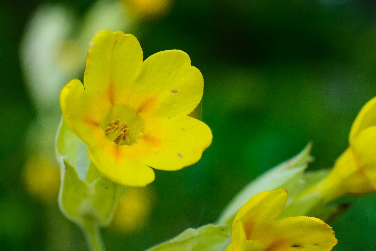 Первоцвет весенний (Primula veris) Автор фото: Вячеслав Степанов