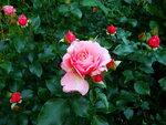 Розы 2011