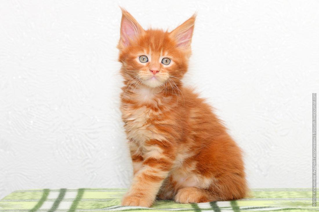 фото питомник красный котенок Мейн-кун