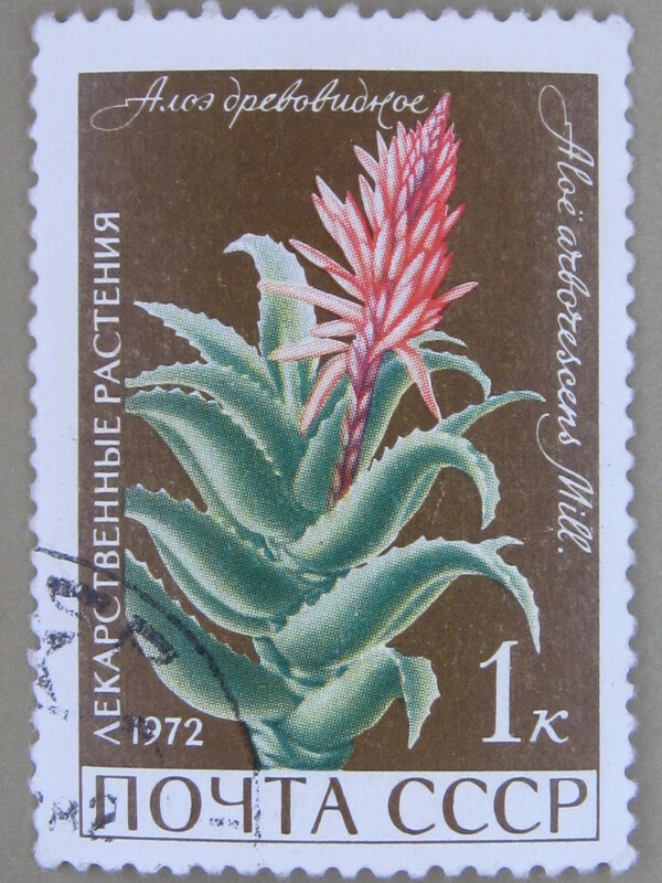 Алоэ древовидное (Aloe arborescens).