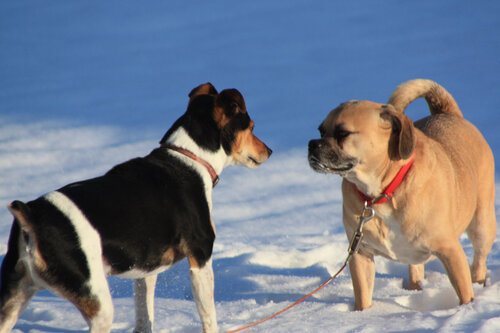 купирование ушей и хвостов мешает собакам взаимодействовать друг с другом