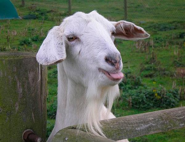 каким будет год козы, если год рождения 1950