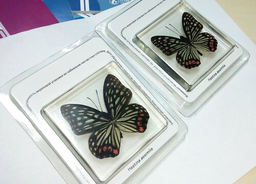 Бабочки №93 - Бабочка-переливница (Hestina assimilis)
