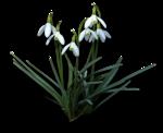 весенние цветы (31).png