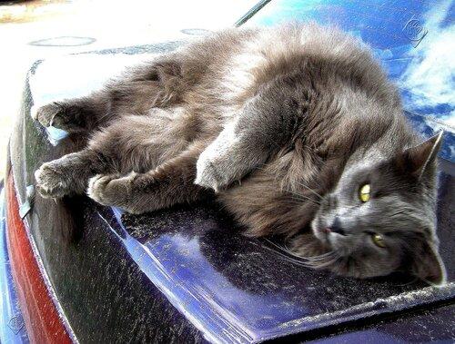 Раслабон серого кота