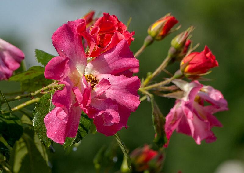 Плакали розы прозрачной росою