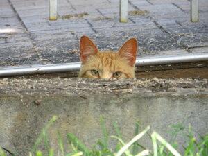 Рыжий кот: засада