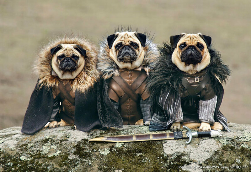 1422661671_1-game-of-thrones-cute-pugs.jpg