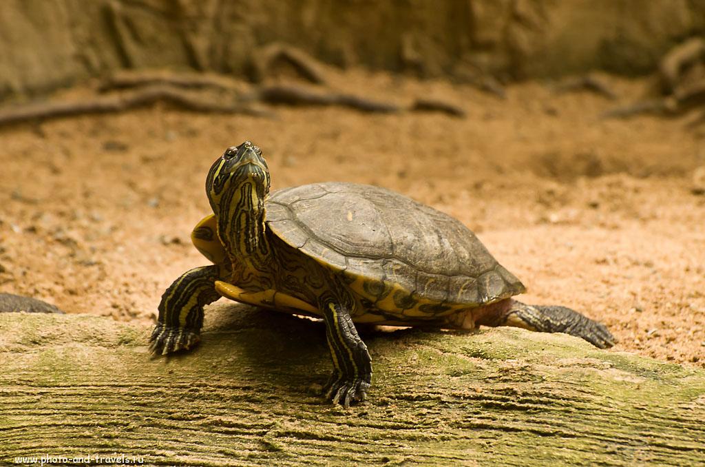 22. Болотная черепаха