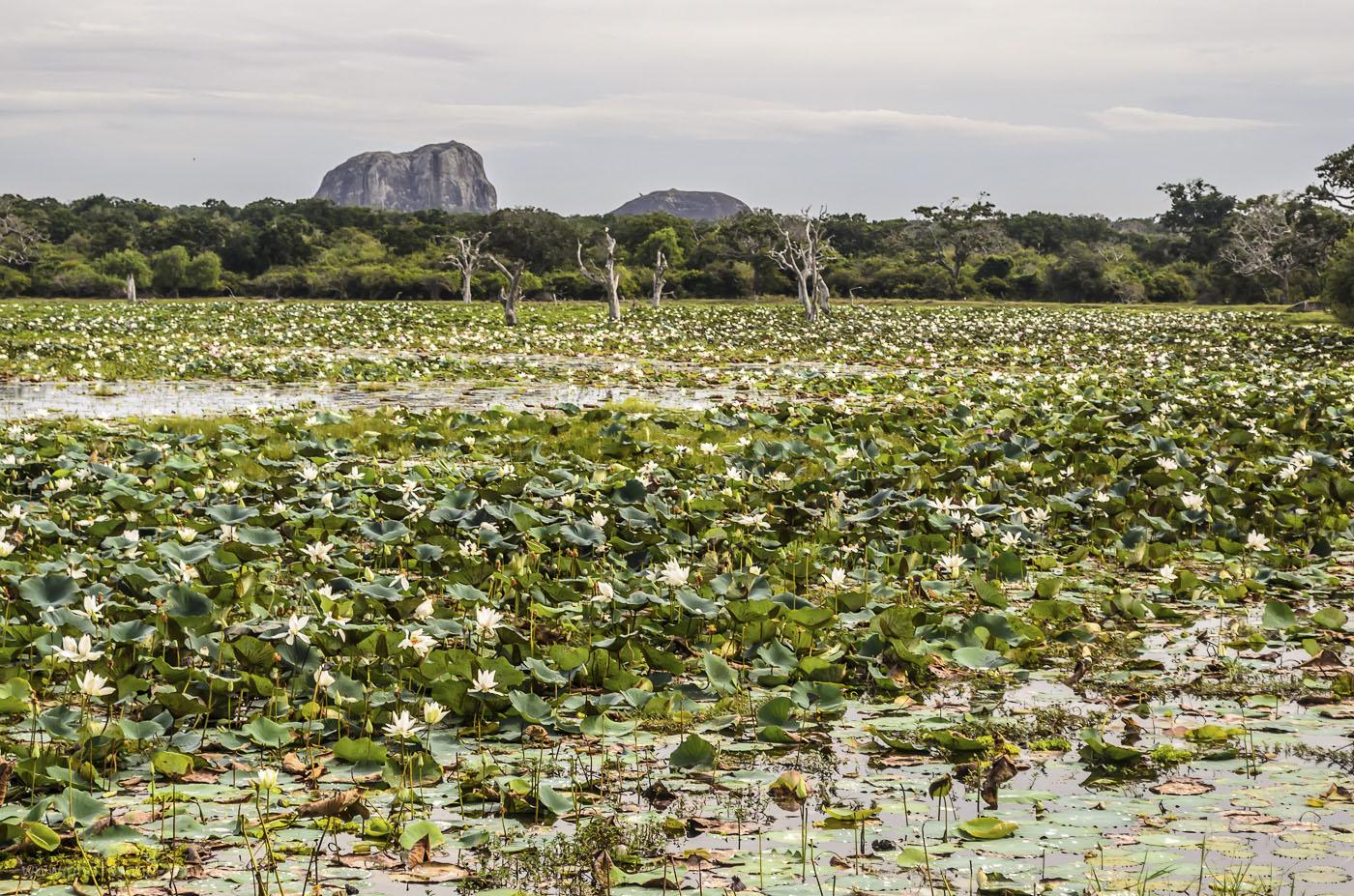 26. Фото. Лотосы в болоте национального парка Яла. На заднем плане - Слоновья гора (Elephant Rock). Поедете на сафари в Yala National Park, обязательно на этом озере снимите панораму. Снимок в таком формате не передает всей красоты. (320, 55, 8.0, 1/160)