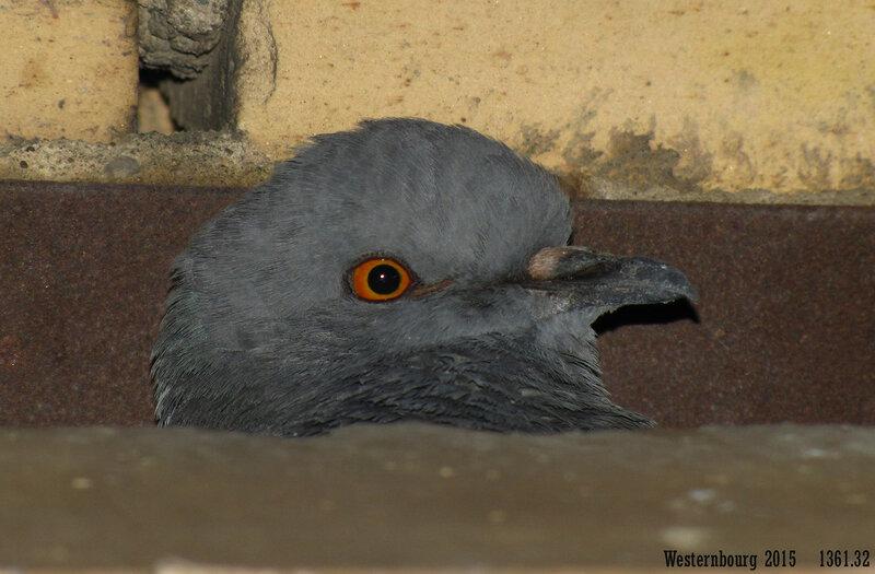1361.32 Утренний голубь