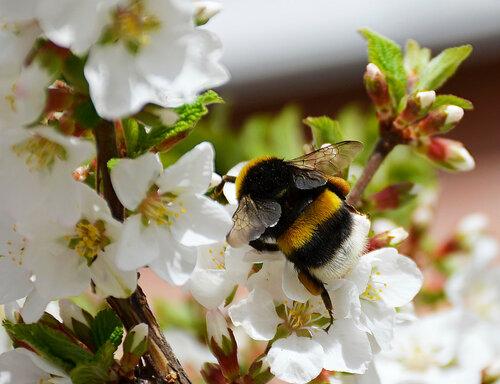 весна, шмель, шмель повернулся попкой, природа, насекомые, растения, Красноярск, Академгородок, вишня, вишня в цвету